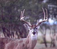 Closeup of big Mexico White-tail buck(buck001b.jpg)