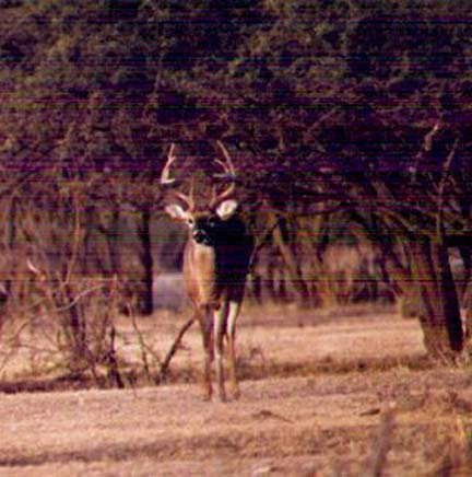 [Great young buck that will be a fine trophy if given time to mature]