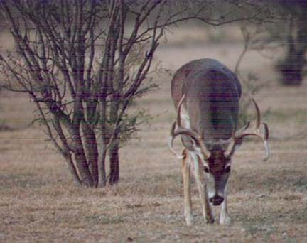 [Here is a large buck with his nose to the ground trailing a doe that came by a few minutes earlier]