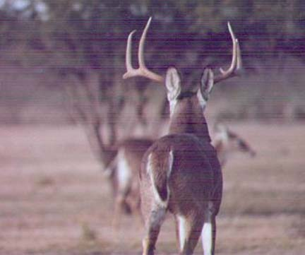 [Here is a large buck going away from me, note how wide he looks from this angle, his spread is only 20