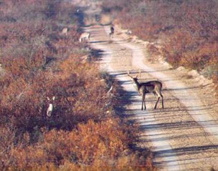 [View of Mexican sendero filled with deer as seen from a truck mounted tripod]