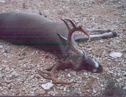 [Here is a better than average 10 pt buck taken in Del Rio by Venado in 1996, though not south TX big buck country, there is the occasional good buck taken there.]