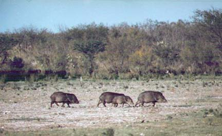 [Typical Javelina family group crossing an open area in Mexico]