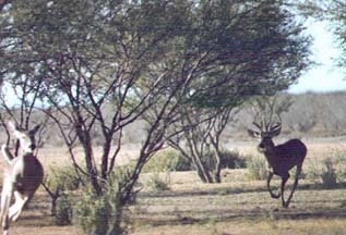 Buck chasing a doe on the edge of a laguna in Mexico (linkbuck026.jpg)